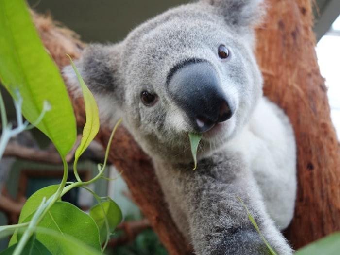 A koala poses for his selfie.