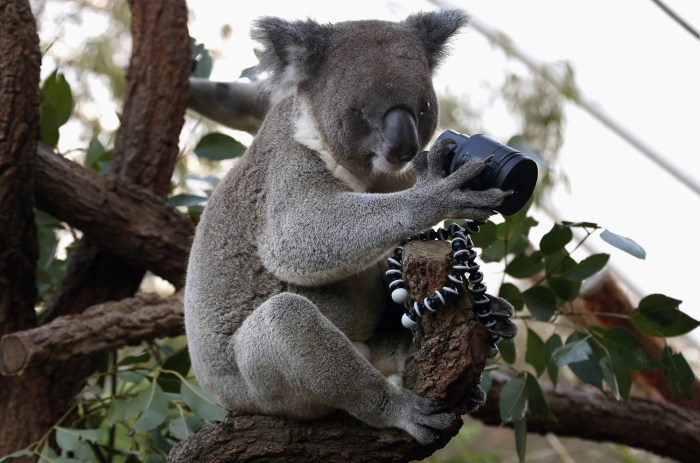 A koala that was born with a damaged eye looks at a camera as it sits atop a branch in its enclosure.