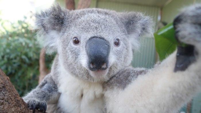 A koala takes a selfie at Sydney Zoo in Sydney on April 3.