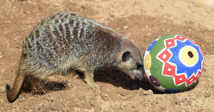 Image: A meerkat investigates her Easter present