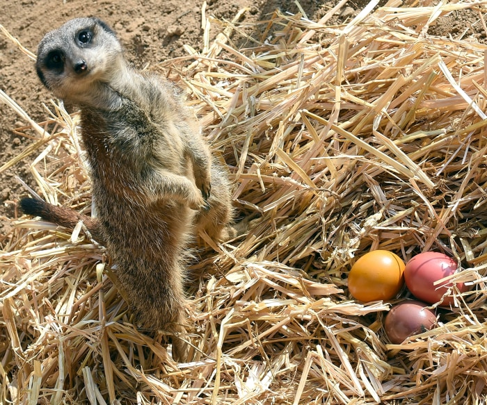 Image: Meerkat with Easter goodies