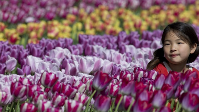 A girl poses in a sea of tulips at Keukenhof on April 17, 2014, near Amsterdam, Netherlands,