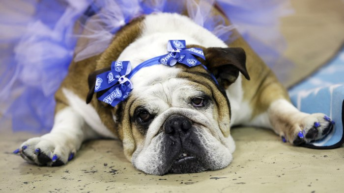 Stella lies during judging at the 35th annual Drake Relays Beautiful Bulldog Contest, Monday, April 21, 2014, in Des Moines, Iowa. The pageant kicks o...