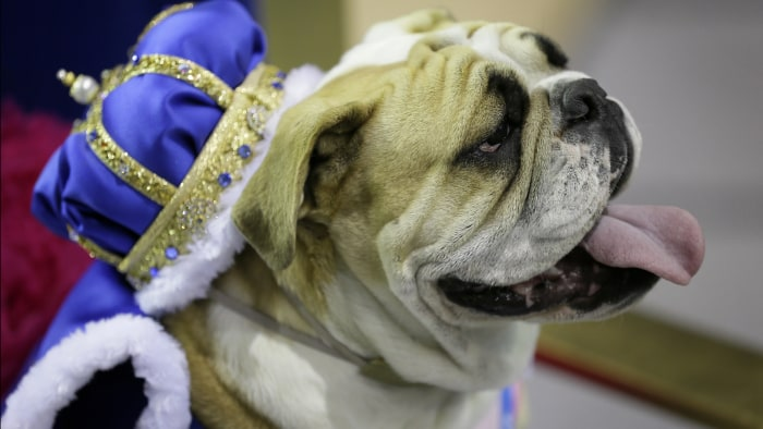 Lucey sits on the throne after being crowned the winner of the 35th annual Drake Relays Beautiful Bulldog Contest, Monday, April 21, 2014, in Des Moin...