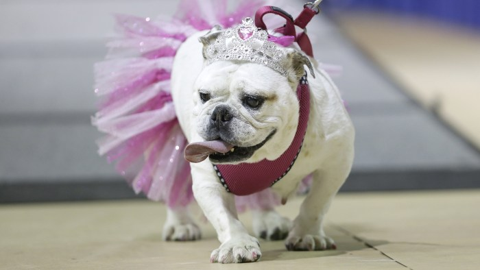 Gracie walks across the stage during judging at the 35th annual Drake Relays Beautiful Bulldog Contest, Monday, April 21, 2014, in Des Moines, Iowa. T...