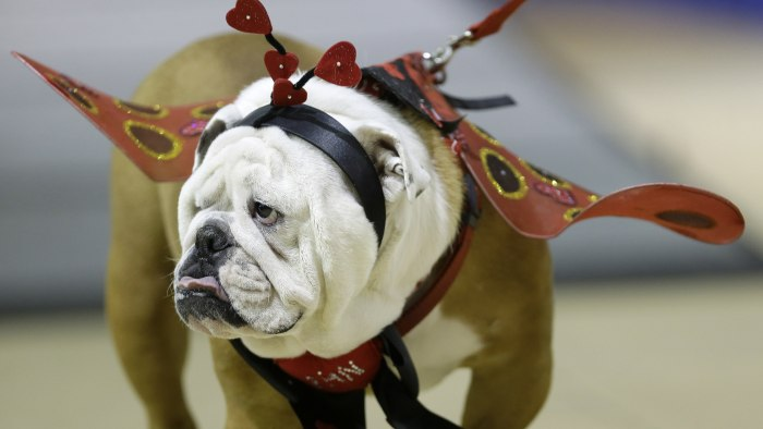 Linus the Love Bug walks across the stage during judging at the 35th annual Drake Relays Beautiful Bulldog Contest, Monday, April 21, 2014, in Des Moi...