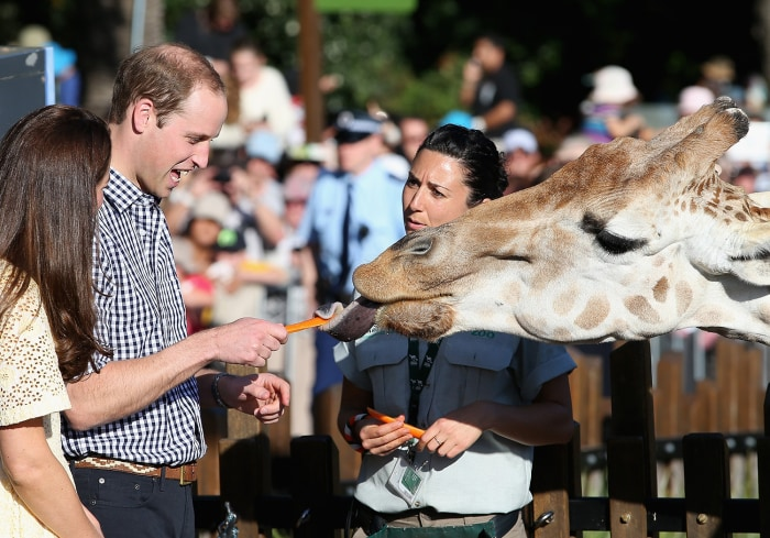 Britain's Prince William reacts as he and his wife Duchess Kate feed giraffes during their Taronga Zoo visit on April 20, 2014.