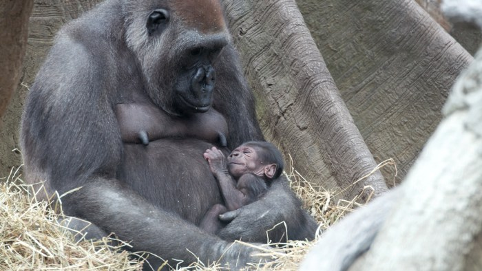 Gorillas snuggle with mom