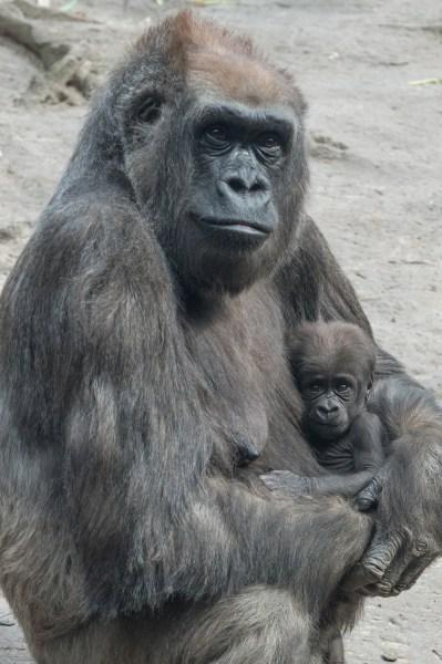 A gorilla cradles its baby.
