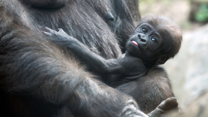 A baby gorilla spots the camera while resting in its mother's arms.