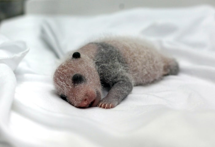 Only living baby panda triplets unveiled by China zoo ...