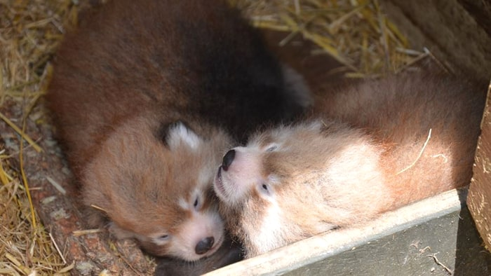 Auckland Zoo's baby red panda twins cuddle in their nest box.