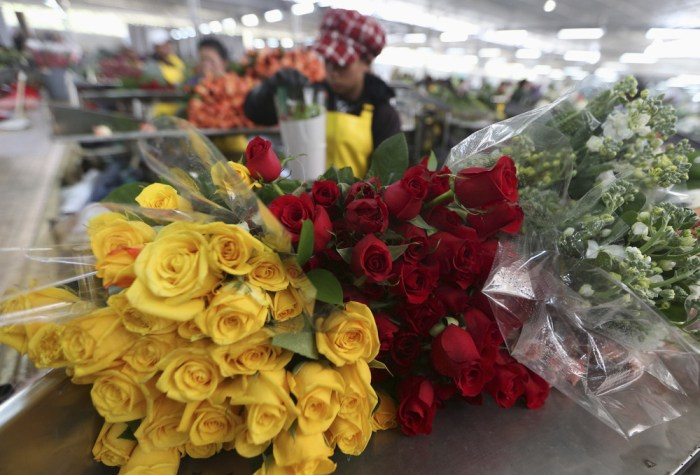 The ever-popular rose can prove quite pricey for Valentine's Day, so consider your options before ordering. Here, Colombian growers select roses for export in a farm in Facatativa on Jan. 31, 2014.