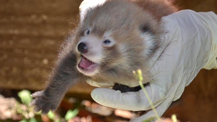 One of the red panda twins at the Auckland Zoo smiles for the camera.