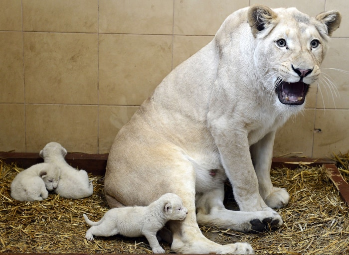 White lion Azira is pictured with her three new born cubs in their enclosure in a privately-owned zoo in Poland.