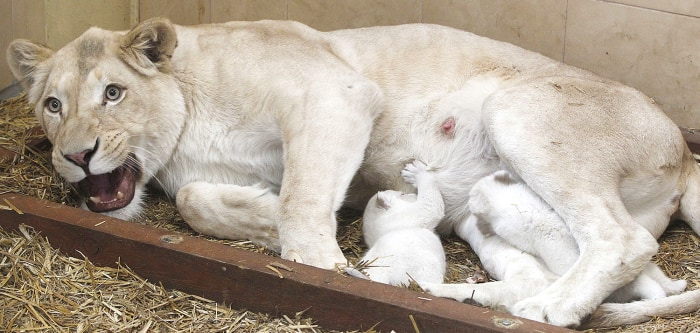 White lioness Azira feeds two of her three white cubs that were born in January in a private zoo in Poland.