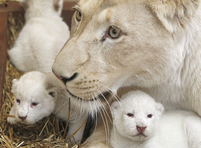 White lioness Azira lies in a cage with two of her three white cubs that were born last week in a private zoo in Poland.