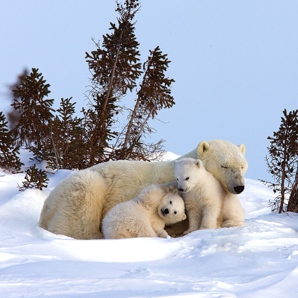 A family of polar pears cuddle up in Canada.