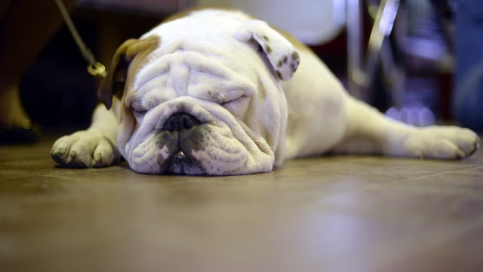 A bulldog tries to nap at the 138th Annual Westminster Kennel Club Dog Show .