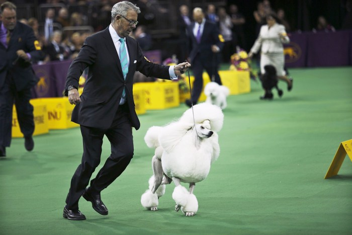 Ally, a standard poodle, runs with its handler after winning the non-sporting group during the 2014 Westminster Kennel Club Dog Show in New York.