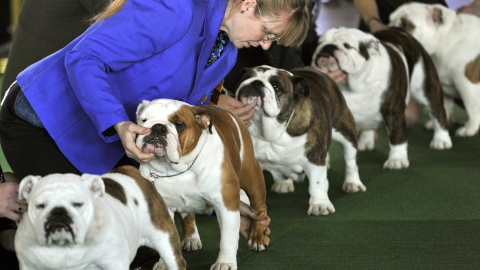 Bulldogs line up in the judging ring for the first day of competition at the 138th Annual Westminster Kennel Club Dog Show.