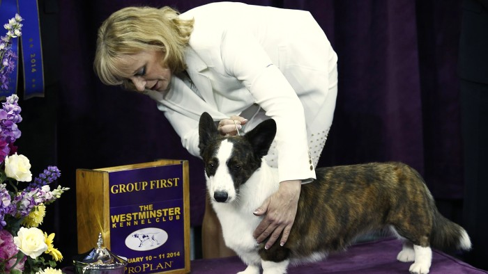 Coco Posh, a Cardigan Welsh corgi, poses with its handler on Feb. 10.