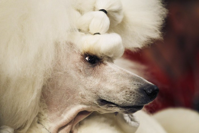 A poodle named Allie waits in the penning area during day one of judging of the 2014 Westminster Kennel Club Dog Show in New York February 10, 2014. N...