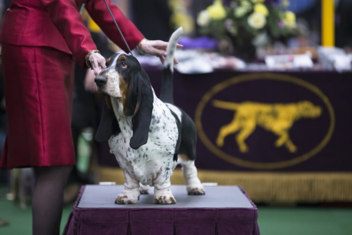 A Basset Hound is presented in the competition ring during the Westminster Kennel Club dog show, Monday, Feb. 10, 2014, in New York. (AP Photo/John Mi...
