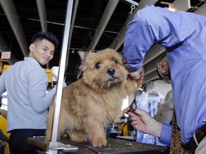Appollo, a Norwich Terrier, reacts as he gets a final trim form Gary Trexler, of Sacramento, California, prior to competing during the 138th Westminst...