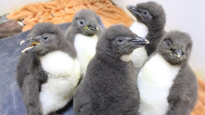 Five baby penguins at the Omaha Zoo.