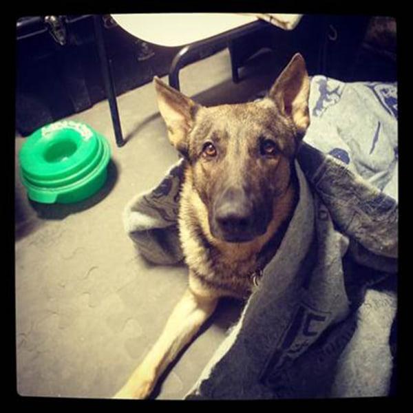 Nico the military working dog