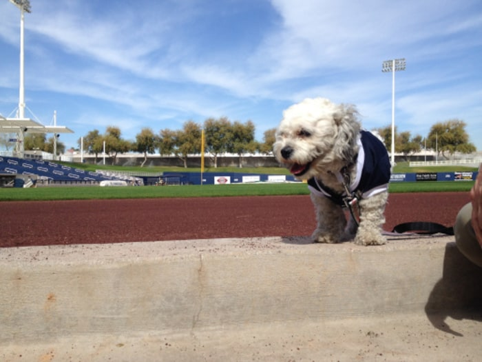 Hank, a stray dog who has become a part of the Milwaukee Brewers team, overlooks the baseball field during spring training.