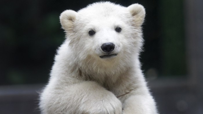 Polar bear cub Anori explores the outdoor enclosure at the zoo in Wuppertal, Germany, on Monday, April 23, 2012. Anori was born on January 4 and is be...