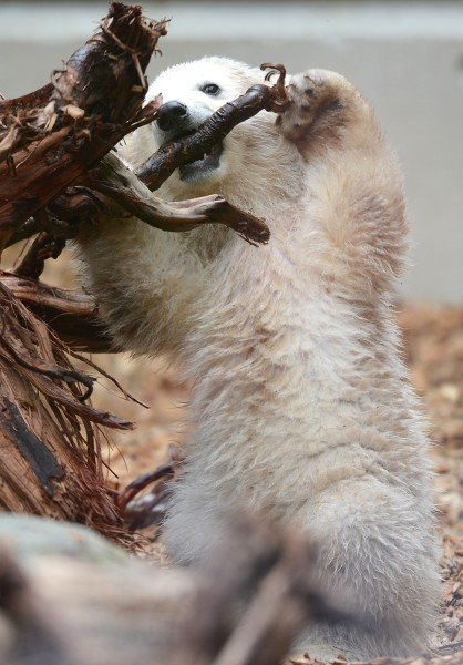 Baby polar bear Anori nibbles a piece of wood as she explores her enclosure at the zoo in Wuppertal, western Germany, on April 19, 2012. Anori was bor...