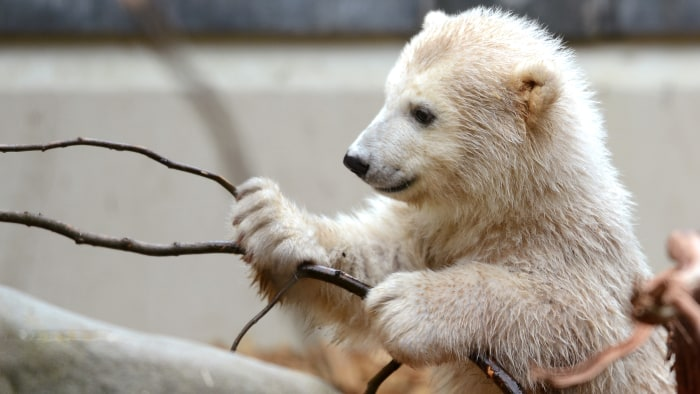 Baby polar bear Anori plays with a branch as she explores her enclosure at the zoo in Wuppertal, western Germany, on April 19, 2012. Anori was born on...