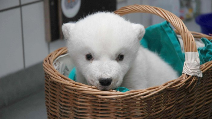 "This handout photo made available by Wilhelma Zoologisch-Botanischer Garten on February 28, 2008 shows a baby polar bear named ""Wilbaer"" in a basket a..."
