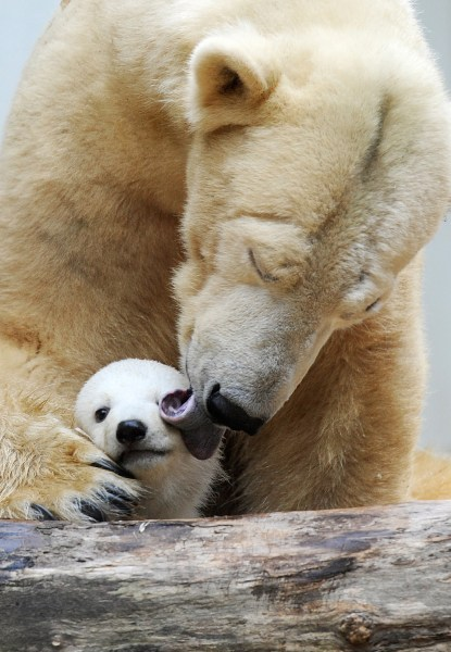 Polar bear mother Vilma (L), cuddles with his cub Anori at the open-air enclosure at the zoo in Wuppertal, western Germany, on March 29, 2012. Anori w...