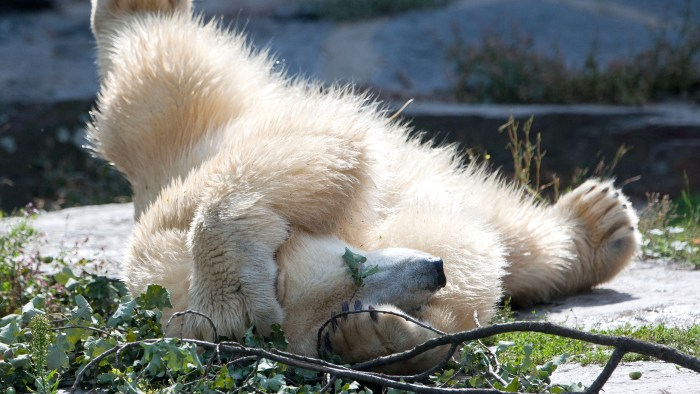 Polar bear Wolodja plays in his enclosure at the Tierpark Friedrichsfelde zoo in Berlin on August 23, 2013. Wolodja was born on November 27, 2011 at t...