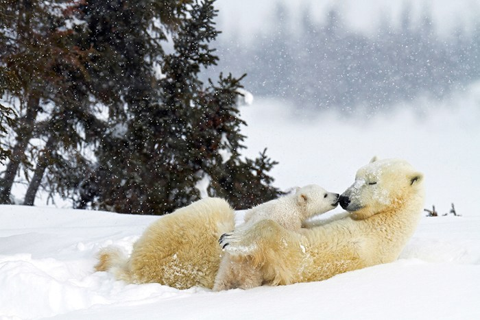 PIC FROM THOMAS KOKTA / CATERS NEWS (Pictured: POLAR BEAR WITH CUB) - A lucky photographer has managed to photograph these adorable images that of the...