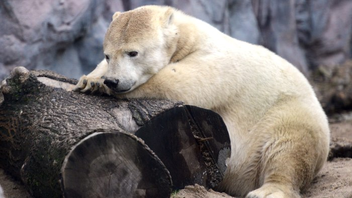 A polar bear Antonia rests in its enclosure on December 14, 2012 in the Gelsenkirchen zoo, western Germany.  AFP PHOTO / CAROLINE SEIDEL /GERMANY OUT ...