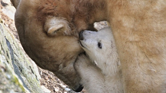 "A polar bear cub plays with its mother ""Cora"" in their enclosure at the zoo in Brno, Czech Republic, during its first presentation to the public on Ma..."