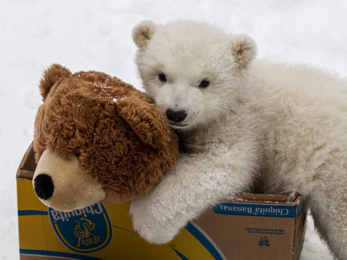 Polar bear with his pet bear