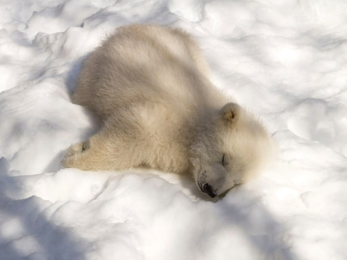 nap time for this polar bear