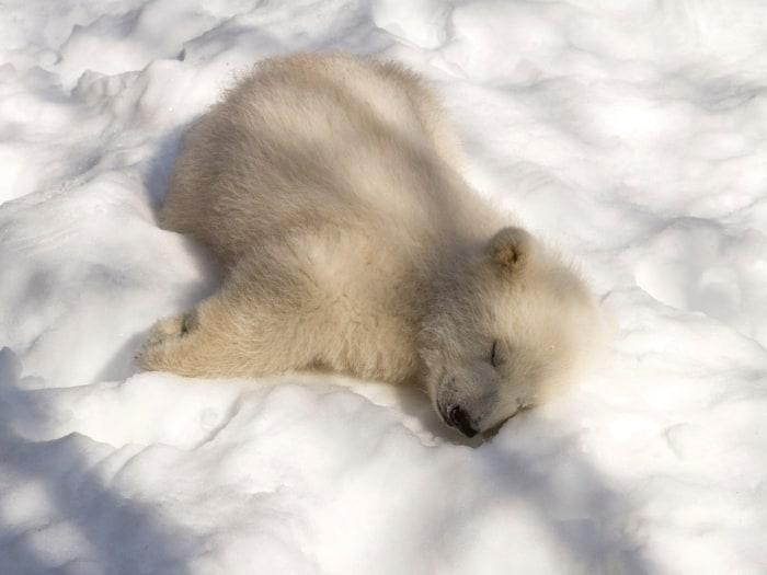 nap time for this polar bear