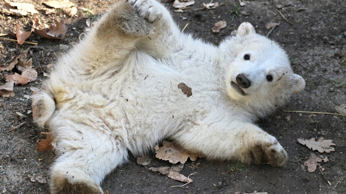 "A polar bear cub plays in its enclosure at the zoo in Brno, Czech Republic, during its presentation to the public on March 16, 2013. Polar bear ""Cora""..."