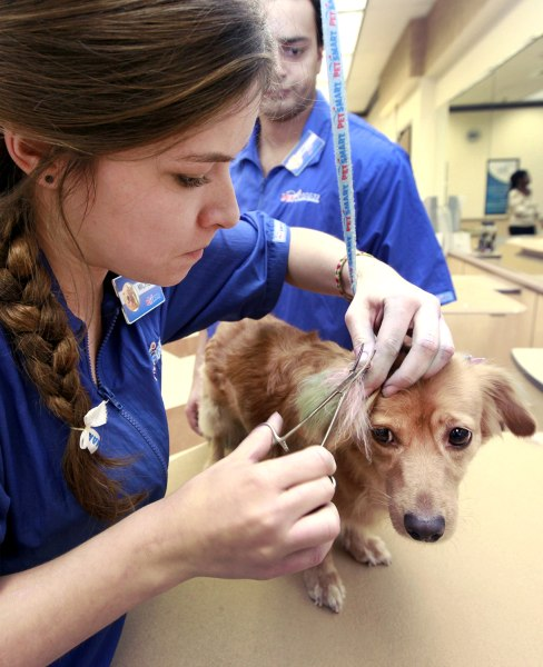 PetSmart groomer Michelle Boch, assisted by salon manager Joel Mitchell, applies color during Sugarplum's chalking treatment on Dec. 13.