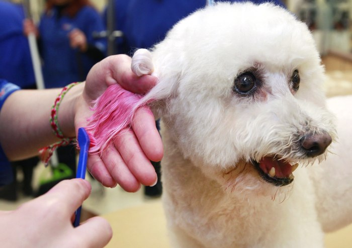 In this Friday, Dec. 13, 2013 photo, groomer, Michelle Boch, gives a 15 year old Bichon Frise, a chalking treatment at PetSmart in Culver City,...