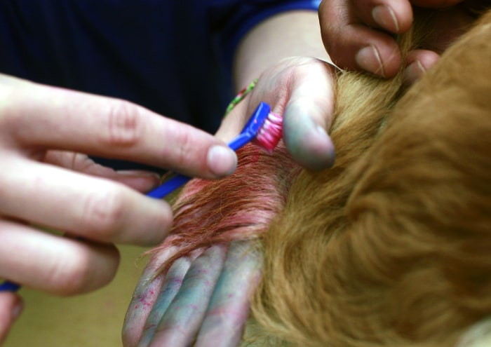 In this Friday, Dec. 13, 2013 photo, groomer, Michelle Boch, from Clarkstone, Mich. chalks the tail of Sugarplum, a 2 year old Dachshund mix, at PetSm...