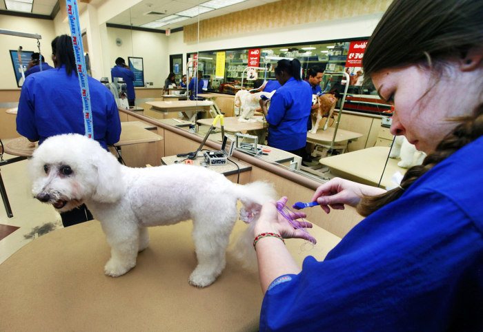 In this Friday, Dec. 13, 2013, photo, groomer Michelle Boch from Clarkstone, Mich. gives Nikkt, a 15 year old Bichon Frise, a chalking treatment at Pe...
