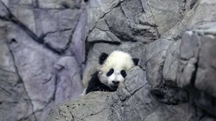 Giant panda bear cub Bao Bao moves around her new habitat at the National Zoo in D.C.